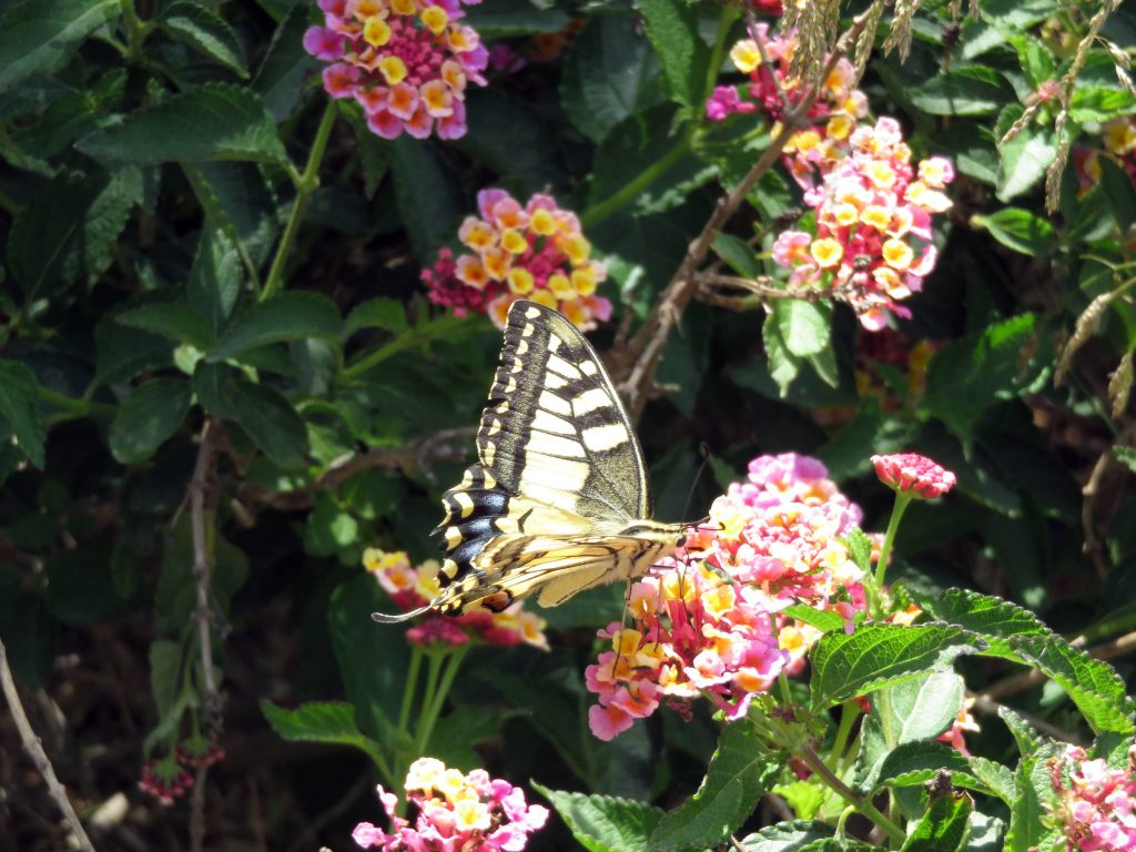Swallow tail butterfly on Lantana camara